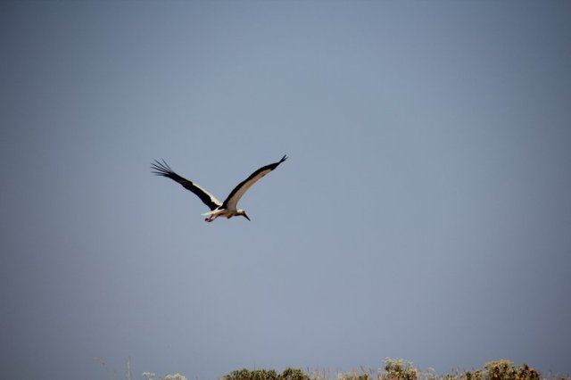 m_Stork in flight
