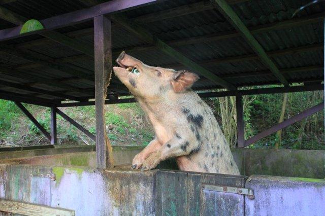 m_Beer drinking pig