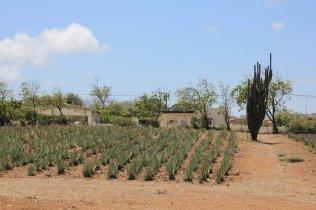 m_Aloe Vera Plantation
