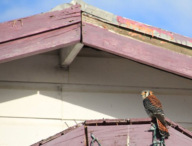 m_American Kestrel on Church Anegada.jpg
