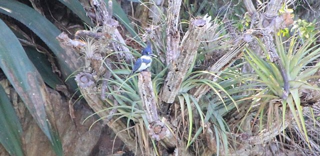 m_Belted Kingfisher4
