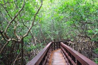 m_Boardwalk through mangrove