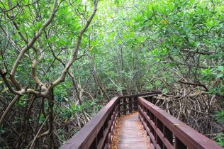 m_Boardwalk through mangrove