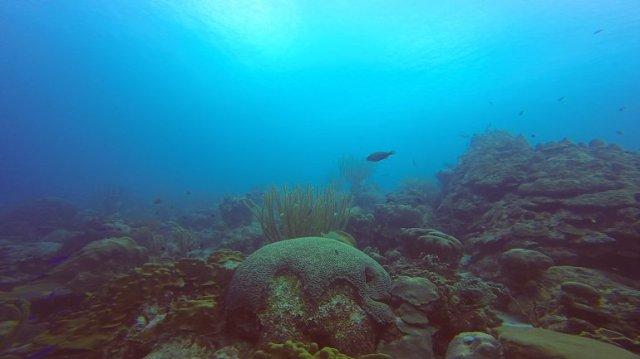 m_Brain coral