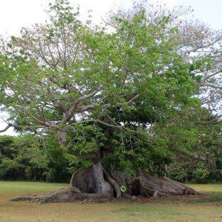 m_Ceiba tree