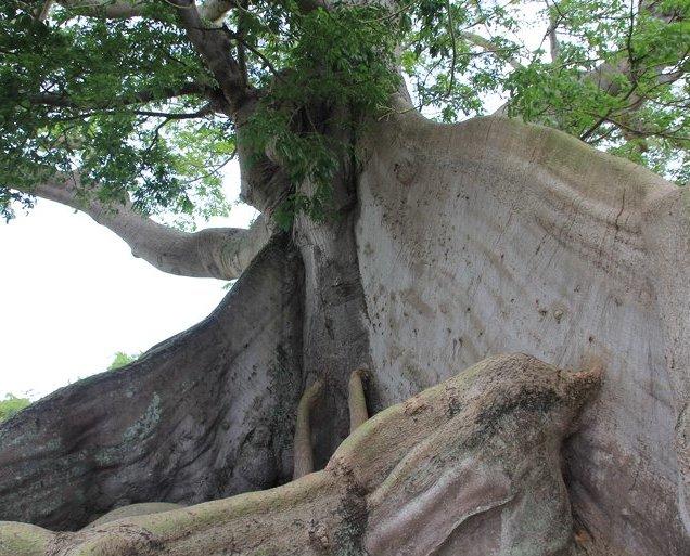 m_Ceiba tree2