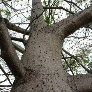 m_Ceiba tree4