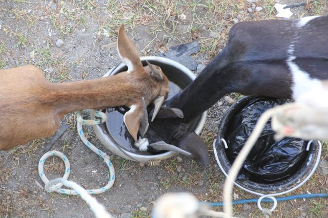 m_Goats drinking washing up water.jpg