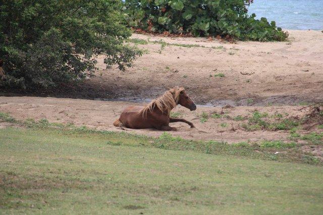m_Horse rolling on beach