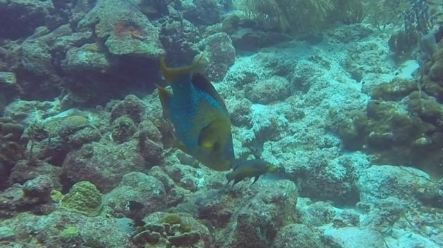 m_Large Parrot Fish