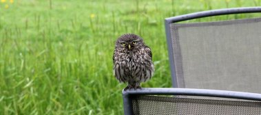 m_Little Owl