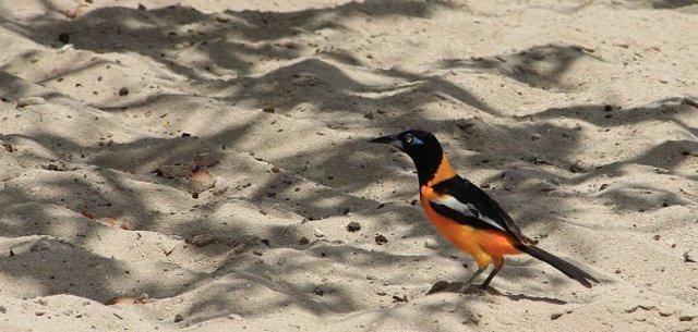m_Orange Magpie