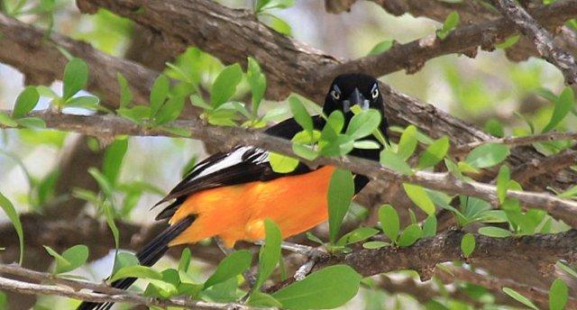 m_Orange Magpie3