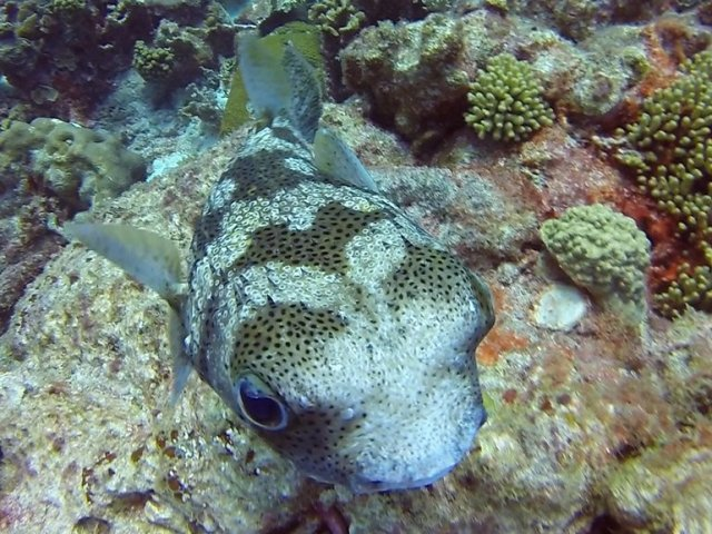 m_Porcupine fish close up4