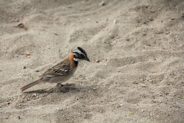 m_Pretty Crested Sparrow on beach