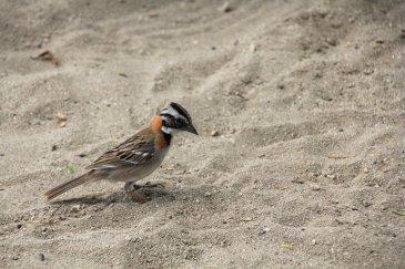 m_Pretty Crested Sparrow on beach