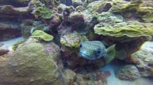 m_Spotted Porcupine Fish