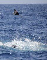 m_Tuna jumping with frigate bird