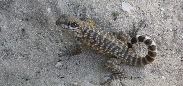 m_Curly tailed lizard