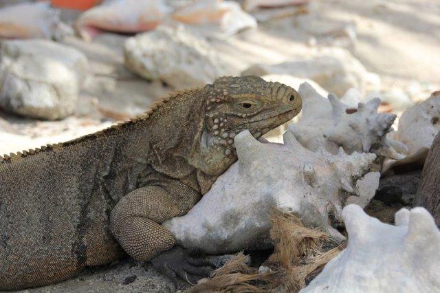 m_Iguana resting on shell