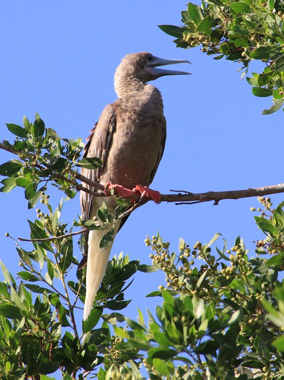 m_Red footed booby4