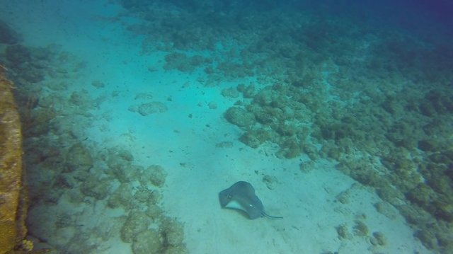 m_Southern sting ray