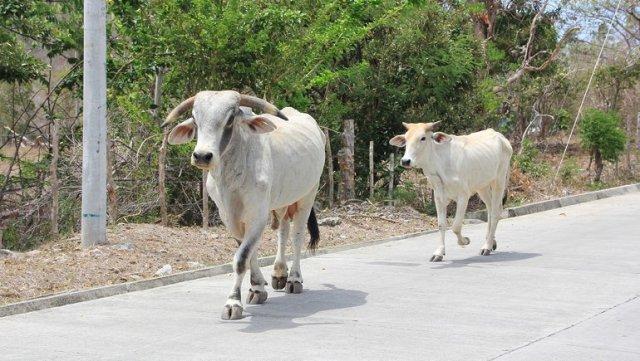 m_Bull in road