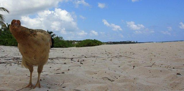 m_Chicken on beach