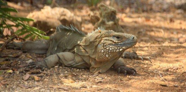 m_Endangered Blue Iguana