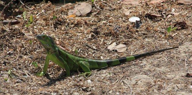 m_Green Iguana