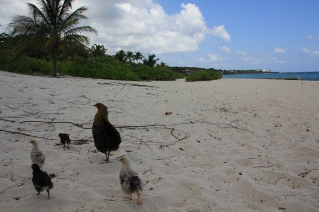 m_Hen and chicks on beach