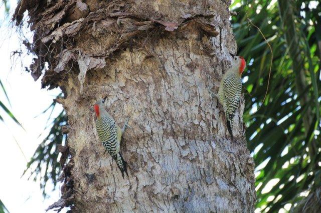m_Pair woodpeckers