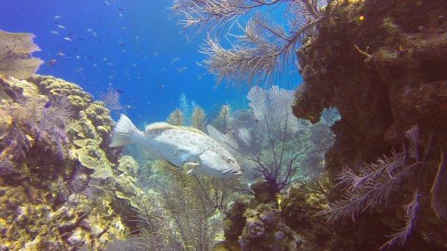 m_Ple grouper