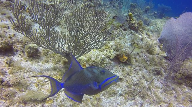 m_Queen Trigger Fish