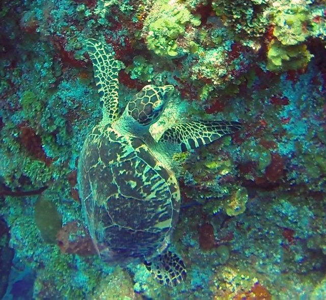 m_Turtle eating coral2