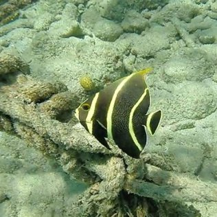 m_Butterfly fish