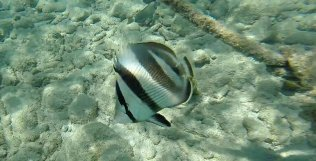 m_Butterfly fish3