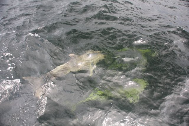 m_Green dolphins