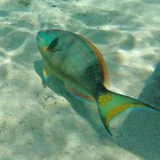 m_Parrot fish
