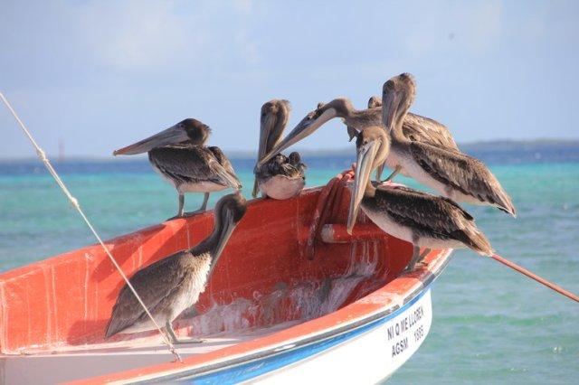 m_Pelicans2