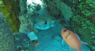 m_Porcupine fish