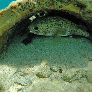 m_Porcupine fish2