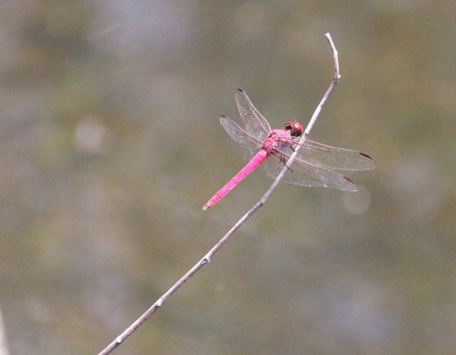 m_Red Dragonfly