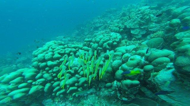 m_yellowfish shoal