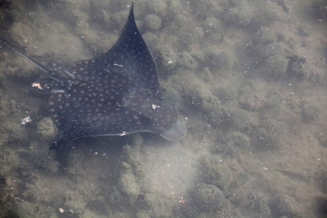m_Eagle ray showing head