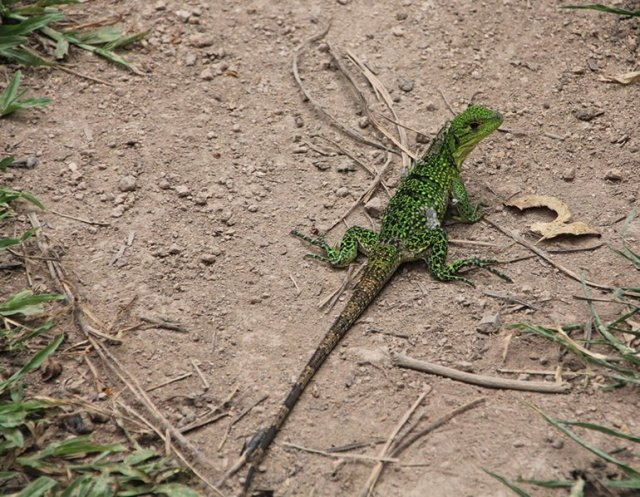 m_Green Lizard shedding skin