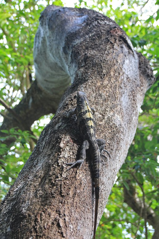 m_Iguana climbing tree