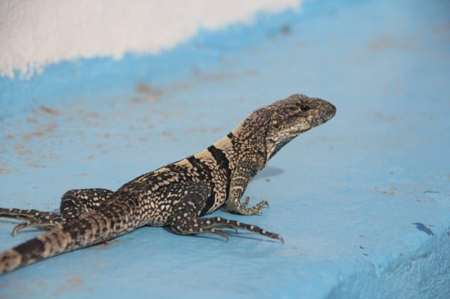 m_Lizard