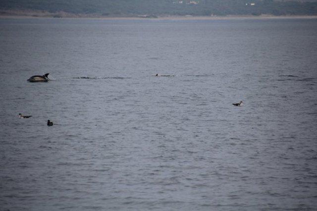 m_dolphin nr gib2