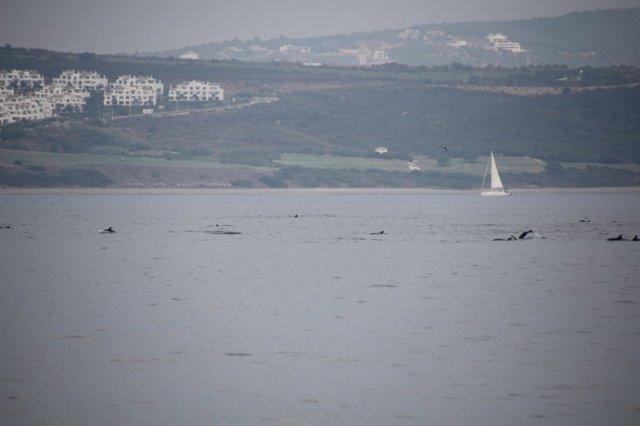m_Dolphins nr Gib1